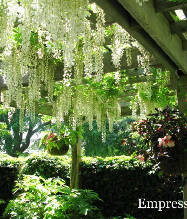 This wisteria has been trained up one post of the arbour with the shoots spread across the overhead beams.