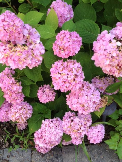 hydrangeas are turning brown, flowers, gardening, hydrangea