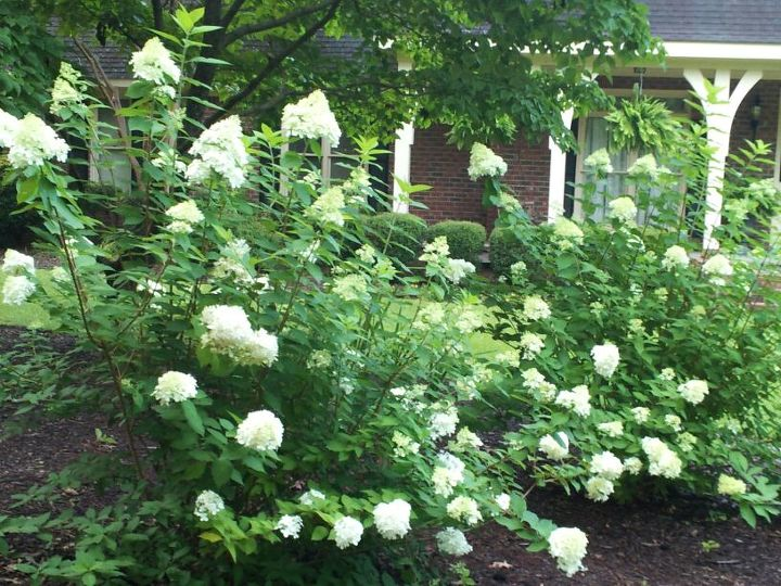 limelight hydrangea, flowers, gardening, hydrangea, Limelight hydrangea a sun loving hydrangea even in the south