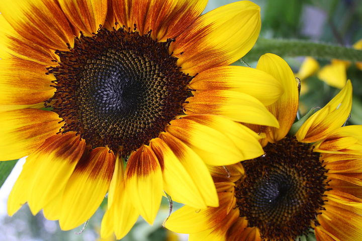 The best part about these sunflower can grow anywhere up to 3-6 ft....Staking required until Sunflowers reach full height and stems are extrememly sturdy! Dehead faded flowers and you proudce more bloom.