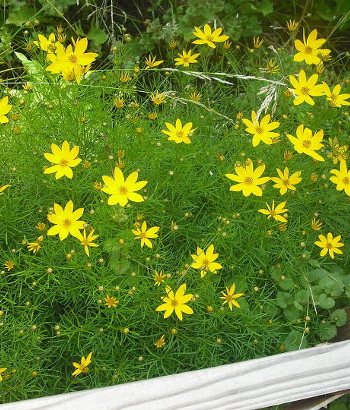 This Coreopsis was this color and a light yellow one that I loss