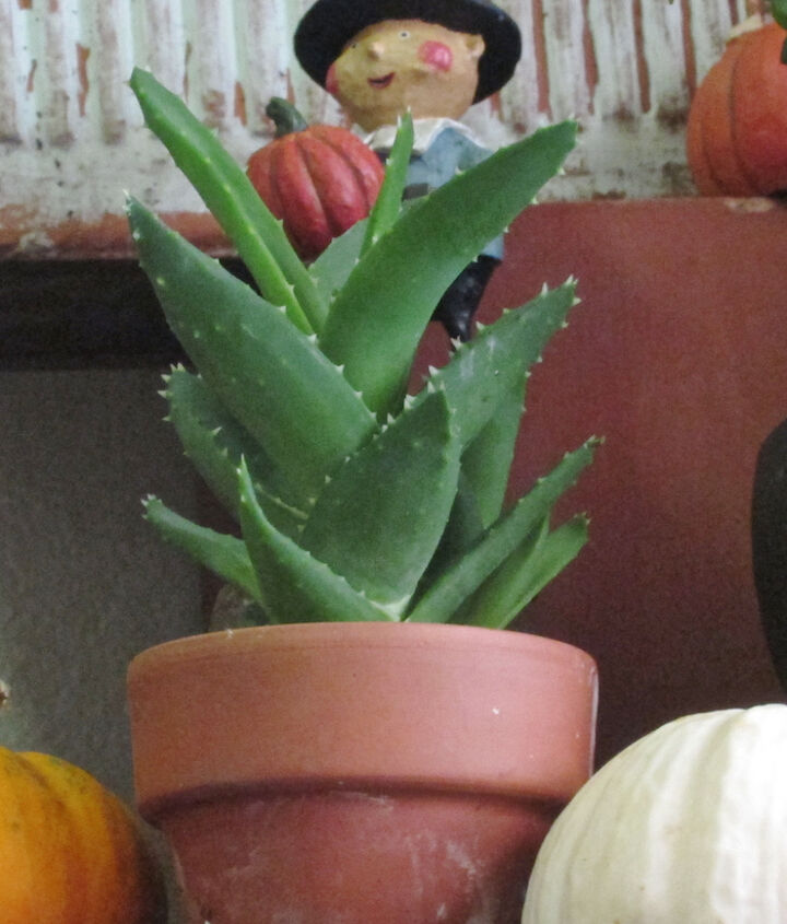 Pilgrim Boy (pictured in my succulent garden, view 1) has visited it for the T'giving holiday in bygone years, including a time featured @ http://thelastleafgardener.tumblr.com/post/35907409353/thanksgiving-is-less-than-a-week-away-a