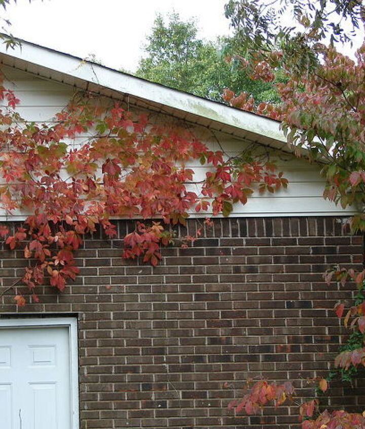Virginia creeper and dogwoods.  When my husband sees that Virginia creeper on the house, its days will be numbered.  He just has this problem with climbing vines.