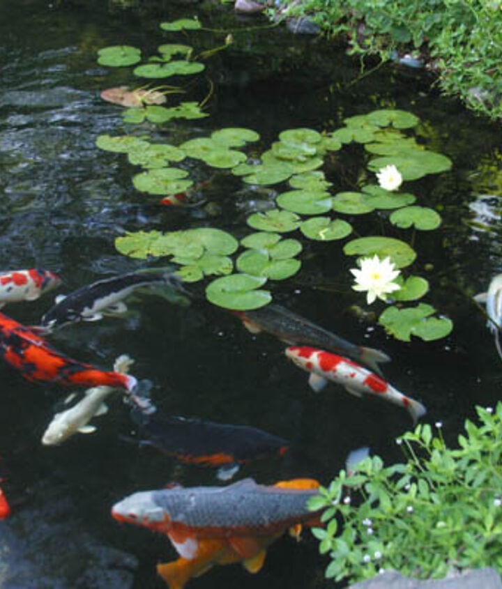 4. Fish. The fish in your pond will eat algae, provided you don't over-feed them. Be careful not to over-stock your pond.