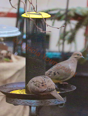 A pair of Mourning Doves meet for lunch at the Yellow NIGER Feeder. INFO on Mourning Doves @ http://www.thelastleafgardener.com/search/label/Mourning%20Doves AS WELL AS @ http://thelastleafgardener.tumblr.com/search/Mourning+Doves