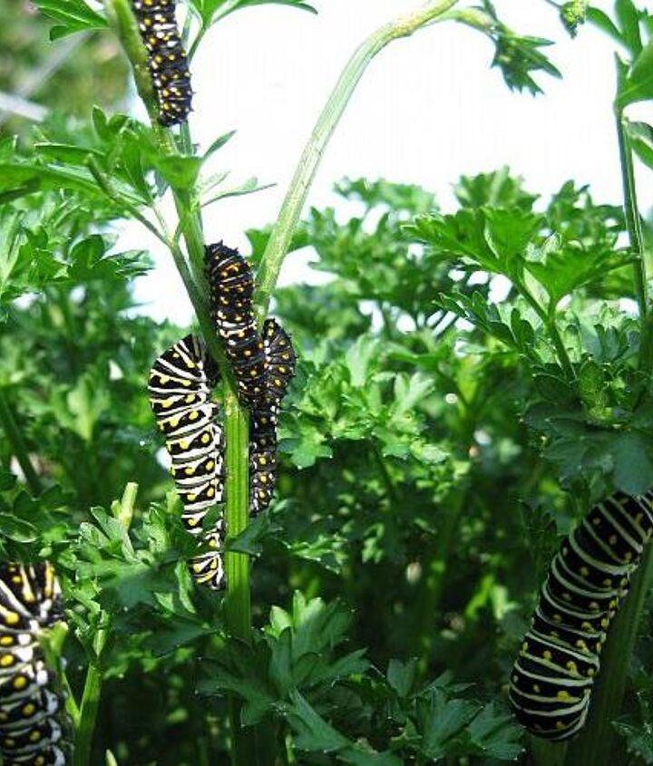 Wildlife - Black Swallowtail caterpillars.
