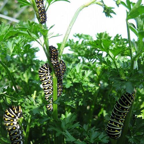 wildlife black swallowtail caterpillars, wildlife animals, Wildlife Black Swallowtail caterpillars
