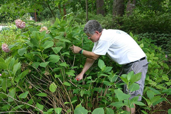 pruning mophead hydrangeas, flowers, gardening, hydrangea, notice how tall they are