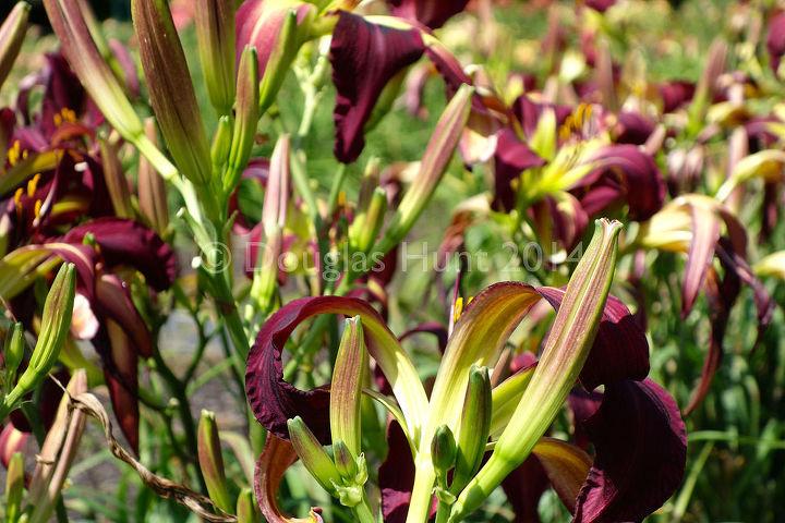 daylilies for days, gardening