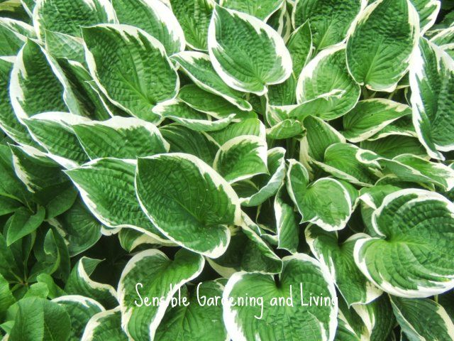 Some Hosta leaves have beautiful white or cream margins.