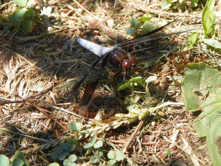common whitetail dragonfly, gardening