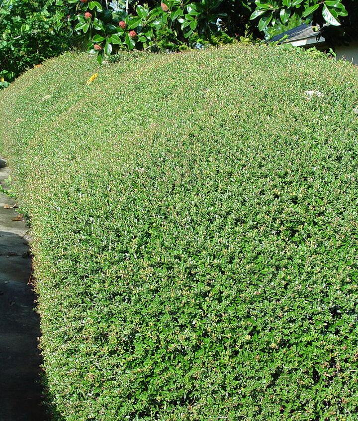 holly hedge problem, gardening