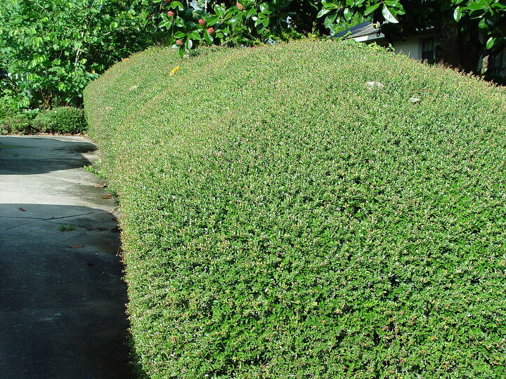 holly hedge problem, gardening