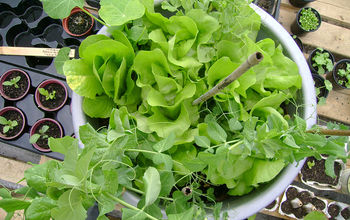 grow your own food container gardening for small spaces, container gardening, gardening, Grow a salad garden on your patio or balcony even in the shade
