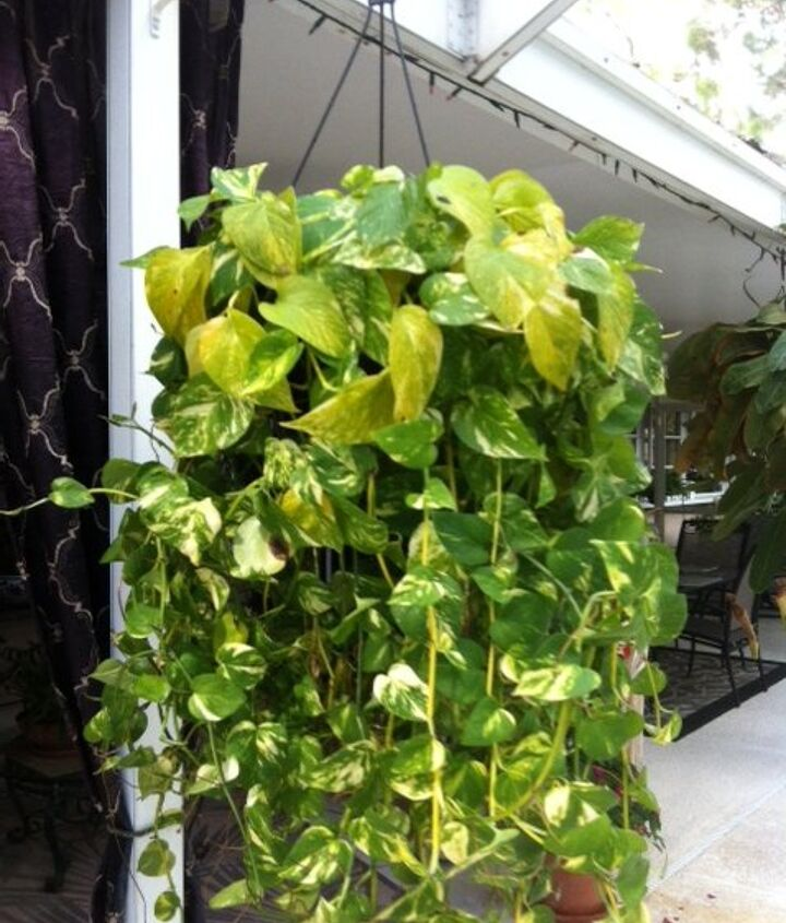 help with pothos plants, gardening