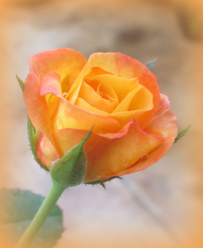 roses in my garden, gardening