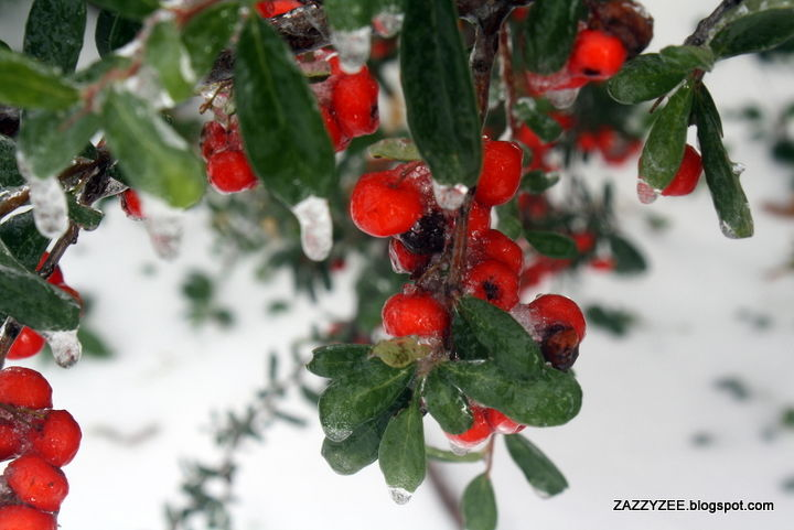holy north pole batman mr freeze has hit texas, gardening, outdoor living, pets animals, Bright pyracantha is up to the challenge