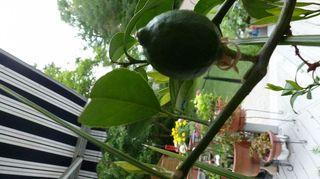 q hometalkers advice for growing my own lemon tree s indoors, gardening