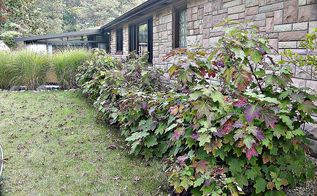 fall finery in the small house garden, flowers, gardening, hydrangea, Our native Oak Leaf Hydrangea in it lovely purple and green colors of autumn