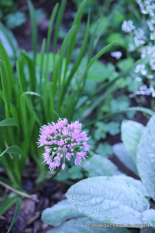 Allium 'Millennium' and lambs ears
