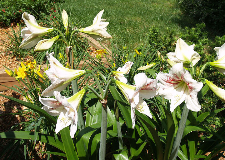 q amaryllis should i simply transplant in the fall or dig them up and replant next, gardening