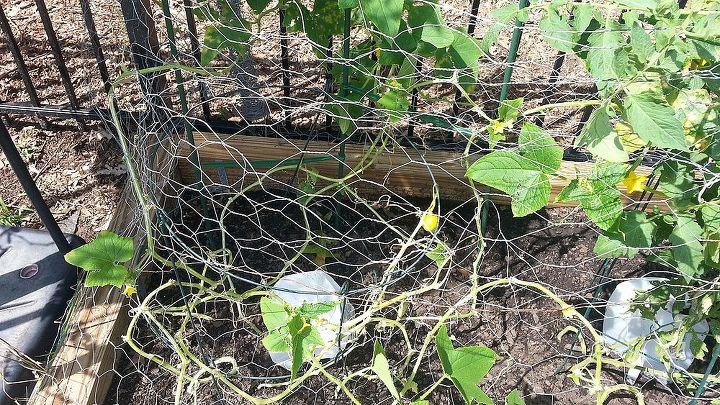 yellow cucumbers short or rououndish, gardening, This is what Cucumbers look like with all dead yellowing vines and Yellow cukes and yellow and ROUND cukes growing