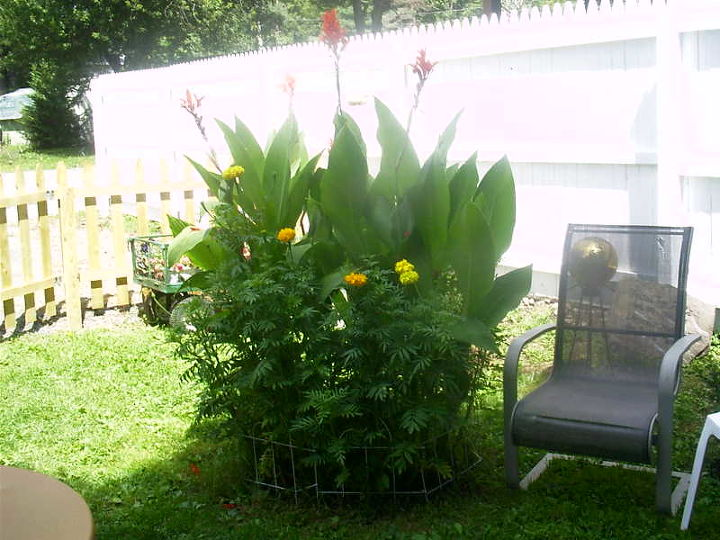 do cannas have seeds, flowers, gardening