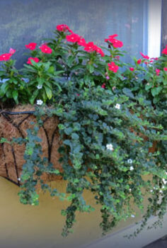 saturday sparks window boxes, flowers, gardening, My window boxes are enjoying the mild summer