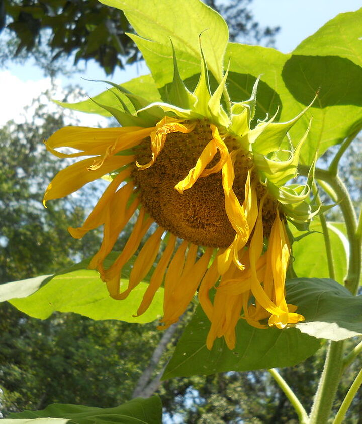 from last summer sunflower, gardening