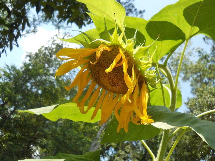 from last summer sunflower, gardening