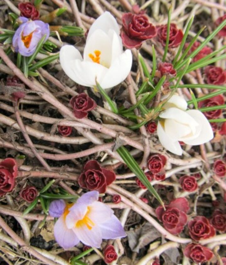 White and purple crocus blooming among the sedum.