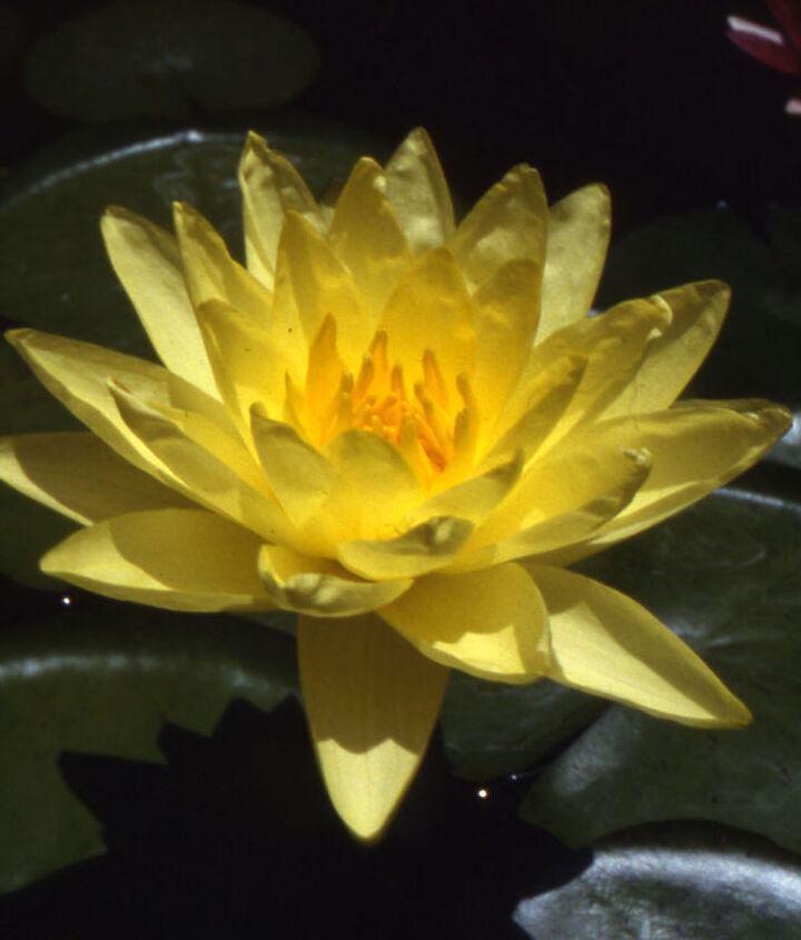 Joey Tomocik is a great-performing waterlily with up to 6 blooms on one plant!