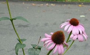 fall clean up for black eyed suzies and cone flower, flowers, gardening, perennials