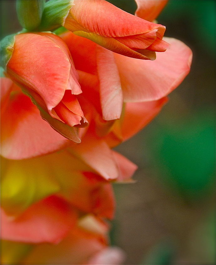 pretty colors, flowers, gardening, Salmon colored gladiola
