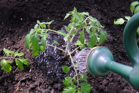 how to transplant heirloom tomato plants into the ground, gardening