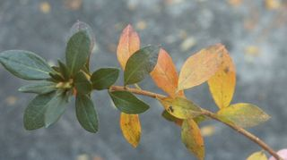 q why are the leaves of my encore and gumpo azaleas turning yellow when the larger, flowers, gardening