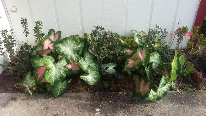 caladiums theft, gardening