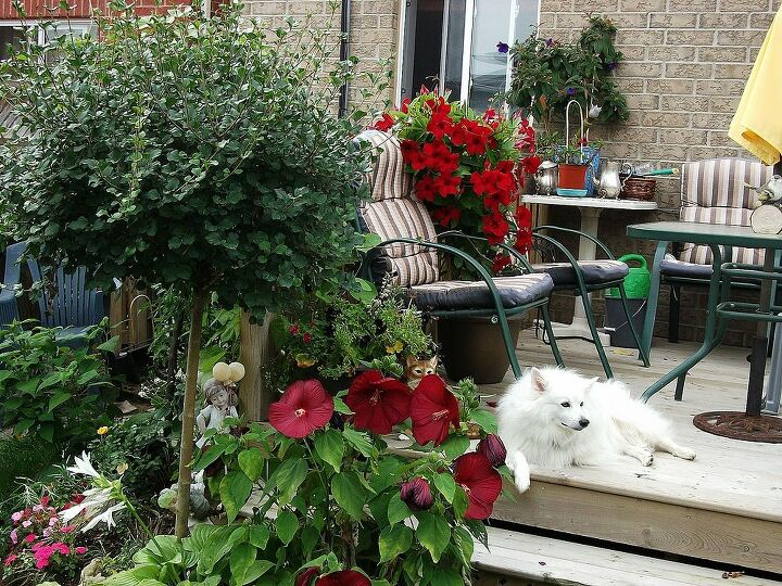dog enjoying the garden, red hibiscus and red mandavilla.
