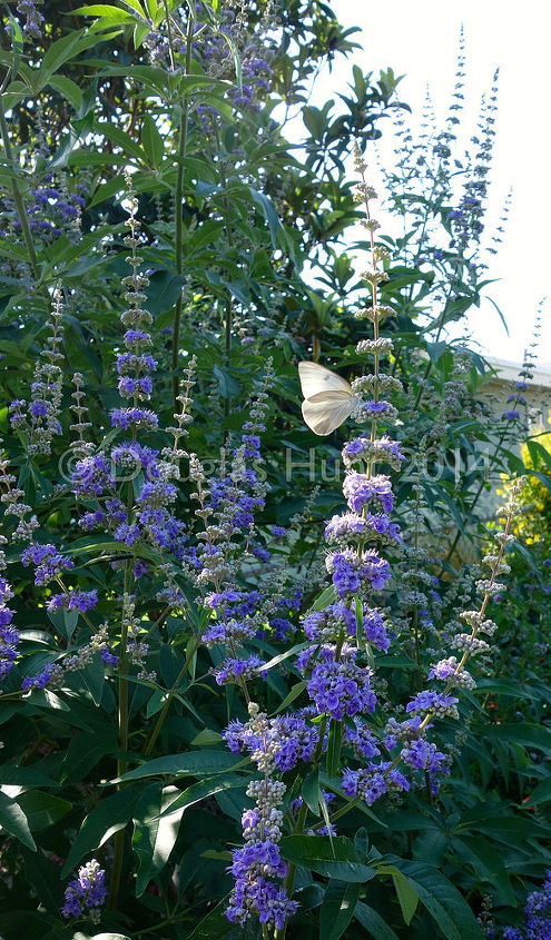 five reasons you should plant a vitex, flowers, gardening