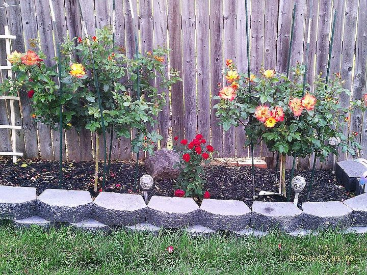 how to winterize my playboy tree roses for winter here in kalamazoo mi, gardening, My 2 Playboy tree roses