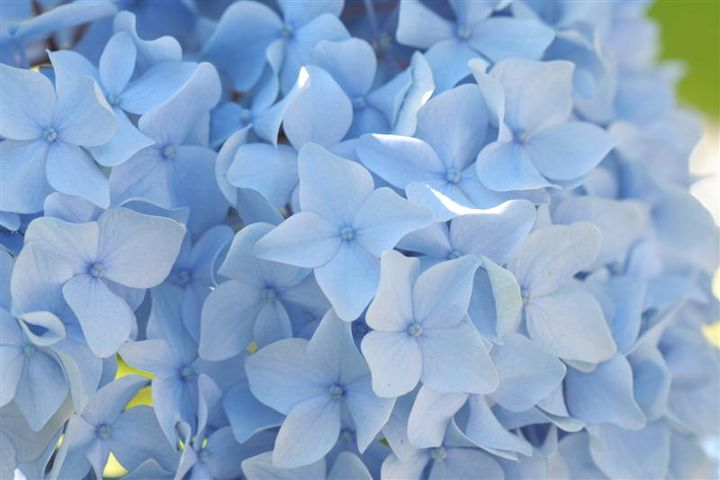 For woody stemmed flowers like hydrangeas, dip the top of the stem into boiling water and then put them into cold water. For lilacs, smash the end with a hammer before adding them to an arrangement.