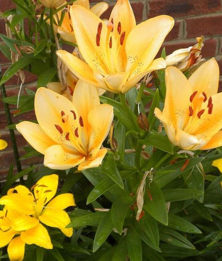 Asiatic Lilies (May-June)
