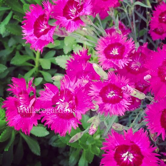 Pinks and Sweet William (Dianthus plumarius Dianthus barbatus, Dianthus caryophyllus)