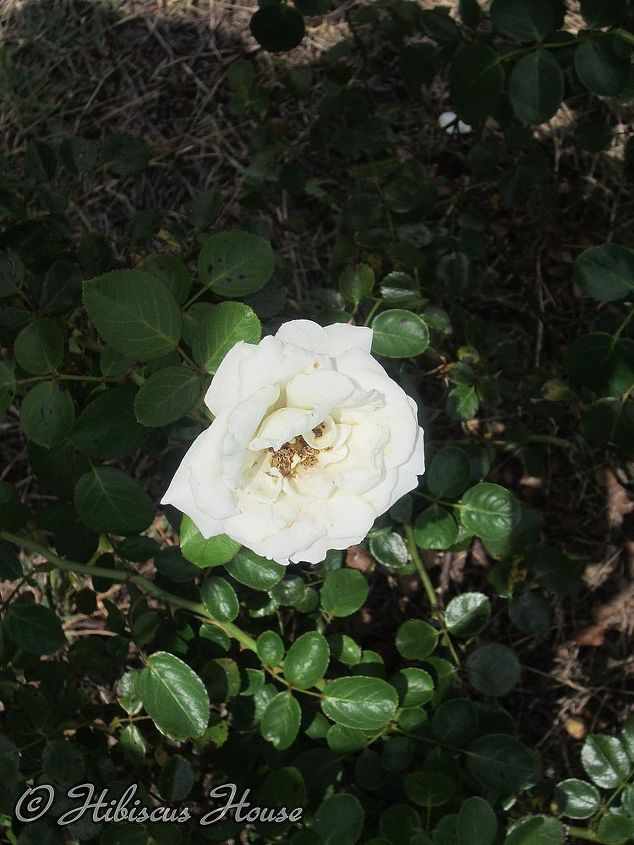 does anyone know the name of this rose, gardening, open bloom