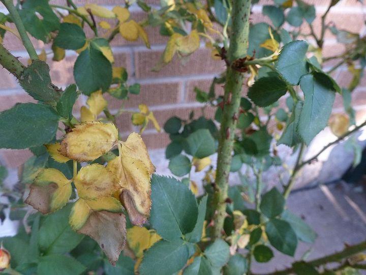 rose, gardening