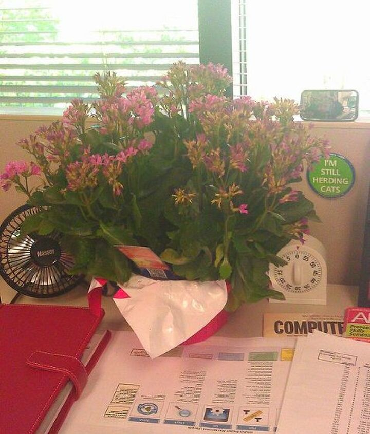 how can i best maintain my kalanchoe at work, flowers, gardening