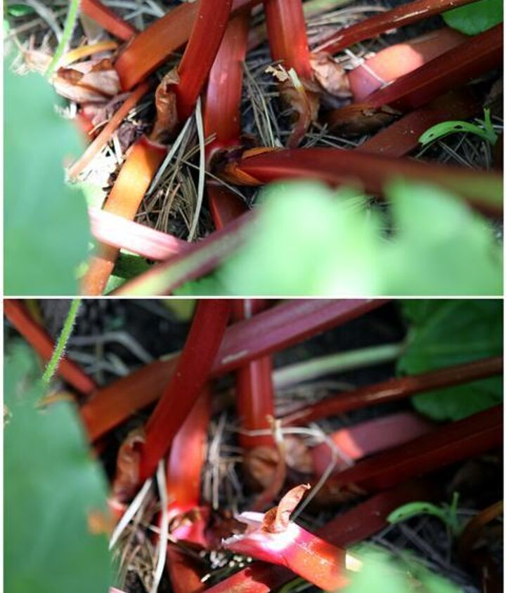To harvest rhubarb solidly grasp the stem and twist to the side and pull to remove. Do not cut the stalks.