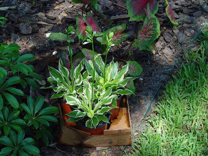 q hostas in florida, flowers, gardening
