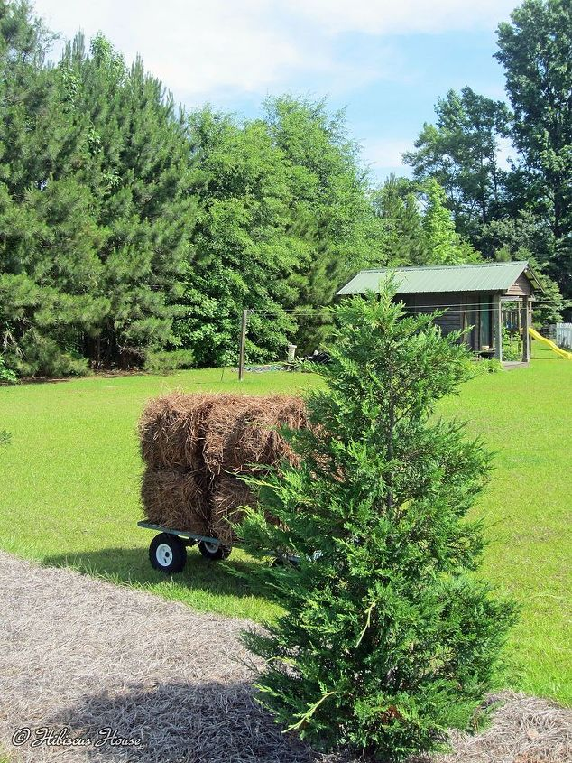 pine straw by the truckload for hibiscus house, flowers, gardening, hibiscus, perennials