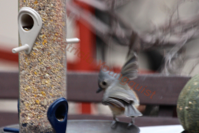 """The tuft titmouses are SOOO sweet. Details on this """"loner""""  (View Two) at the tube feeder @ enjoyed the tube @ http://www.thelastleafgardener.com/2013/01/another-year-over-and-new-one-just_17.html AND details on tuft tit"""
